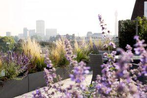 Priple flowers in london garden